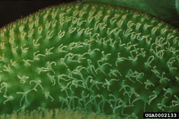 Salvinia minima hairs, separated by the tips (Photo: Ted D. Center, USDA ARS, www.forestryimages.org)