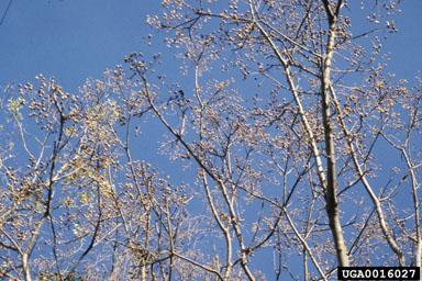 Melia arbre