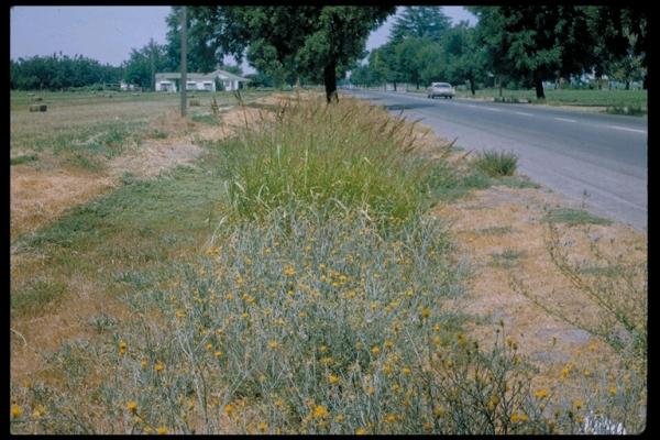 Centaurea solstitialis infestation in California, USA (Photo: � 2001 CDFA)