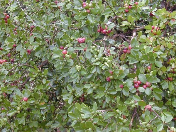 Strawberry Guava In Florida – Articleblog info