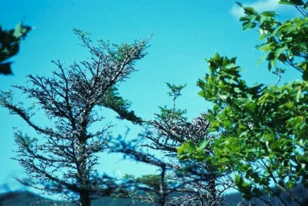 Top of fir crown broken off following a severe attack and showing characteristic development of top branches (Photo: Claude Monnier. Website: Natural Resources Canada)