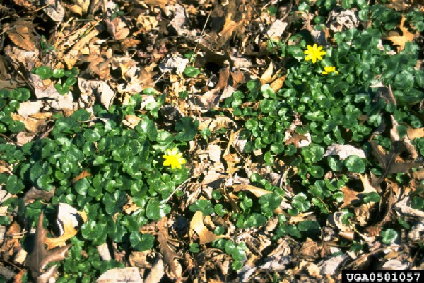 Ranunculus ficaria (Photo: Jil M. Swearingen, USDI National Park Service, www.forestryimages.org)