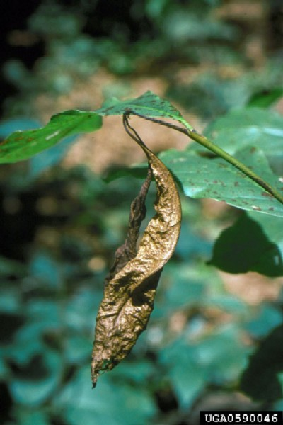 Leaf dieback caused by Discula destructiva (Photo: Robert L. Anderson, USDA Forest Service, www.forestryimages.org)