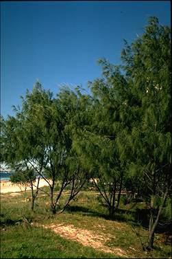 Casuarina equisetifolia (Photo: D. Greig � Australian National Botanic Gardens, http://www.anbg.gov.au)