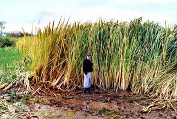 Zizania latifolia (Photo: National Institute of Water & Atmospheric Research (NIWA), New Zealand)