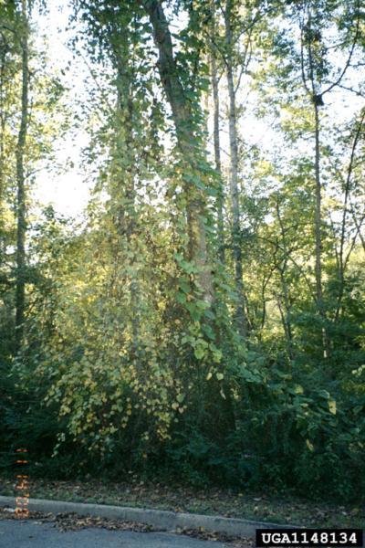 Dioscorea bulbifera infestation (Photo: USDA APHIS PPQ Archive, USDA APHIS PPQ, Bugwood.org)