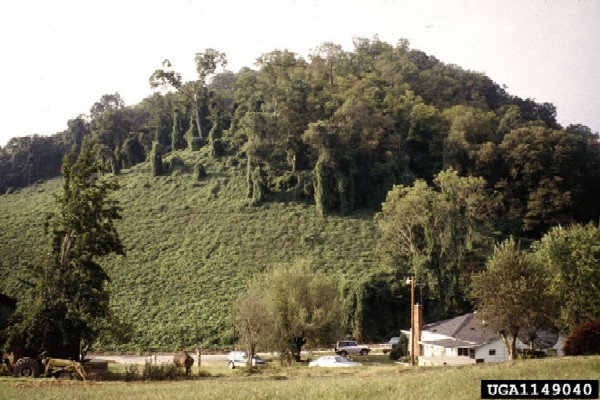 Polygonum perfoliatum infestation (Photo: USDA APHIS, www.forestryimages.org)