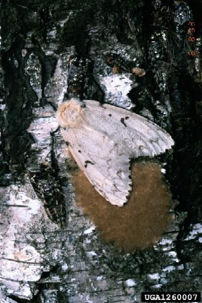 Asian gypsy moth niche characteristics