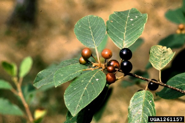Rhamnus frangula (Photo: Gil Wojciech, Polish Forest Research Institute, www.forestryimages.org)