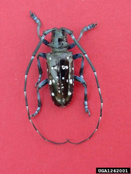 Asian longhorn beetle illinois