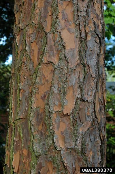 Bark of Pinus elliottii (Photo: Chris Evans, The University of Georgia, www.forestryimages.org)