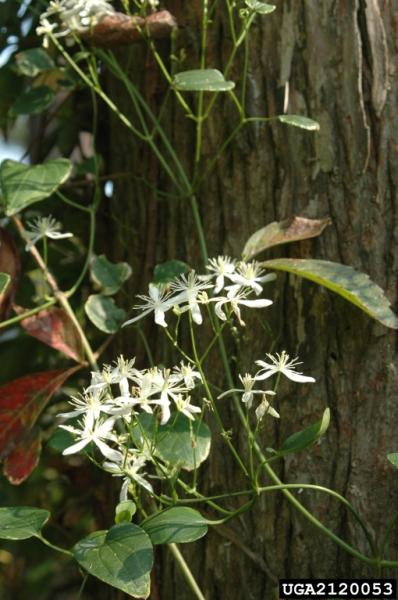 Clematis terniflora flowers and foliage (Photo: Chris Evans, River to River CWMA, Bugwood.org)