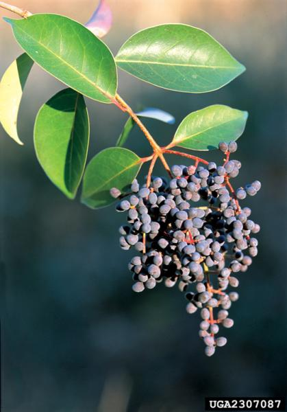 Ligustrum lucidum fruits (Photo: James H. Miller, USDA Forest Service)