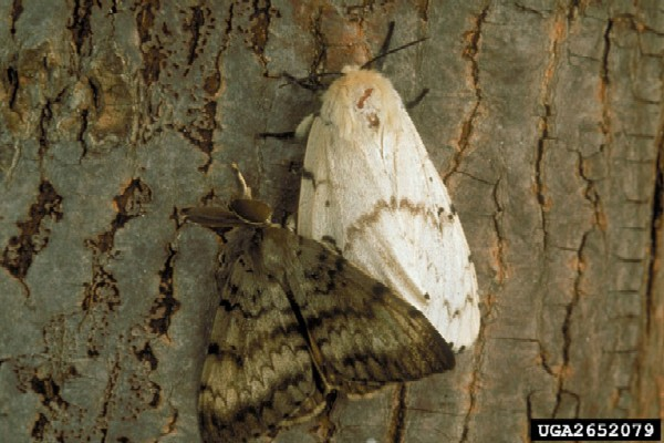 Adult male(left) and female (right) Asian gypsy moths - shown for comparison (Photo: USDA APHIS PPQ, www.forestryimages.org)