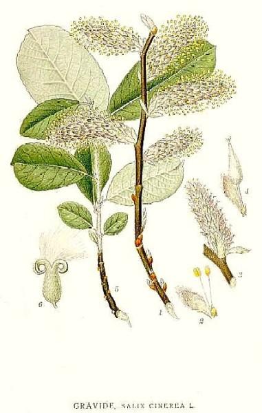 Salix cinerea (Image: � Dr. Gerhard Keuck, 1999 of CAM Lindman s Flora with permission of Project Runeberg (Sweden))