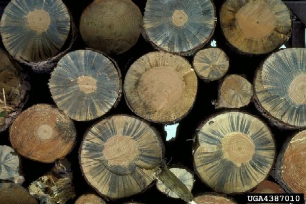 Bursaphelenchus xylophilus damage (Photo: L.D. Dwinell, USDA Forest Service, www.forestryimages.org)