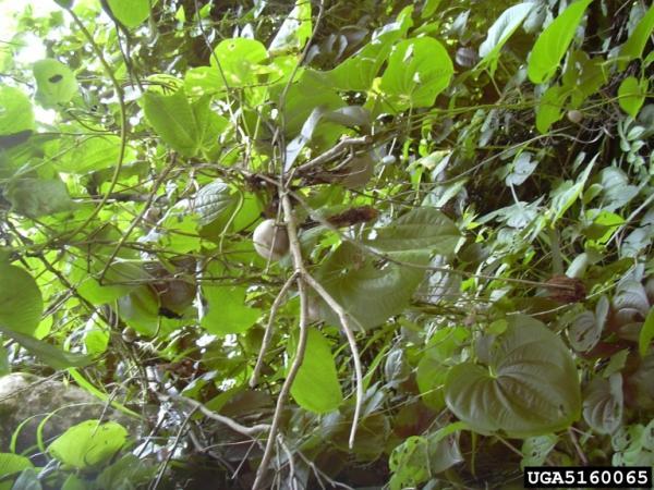 spontanea ex Japan - 10 bulbils Wild Japanese Air Yam – Dioscorea bulbifera f