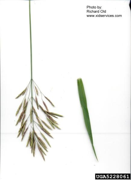 Bromus inermis (Photo: Richard Old, XID Services, Inc., Bugwood.org)