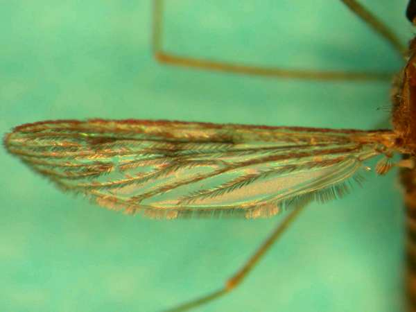 Anopheles quadrimaculatus (Photo: Jason Williams, Virginia Mosquito Control Association)