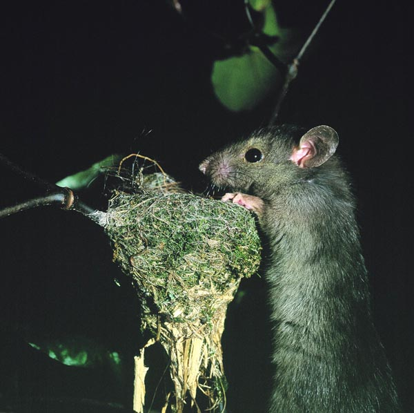 Rat approaching Rhipidura fuliginosa (NZ fantail) nest (Photo: David Mudge)