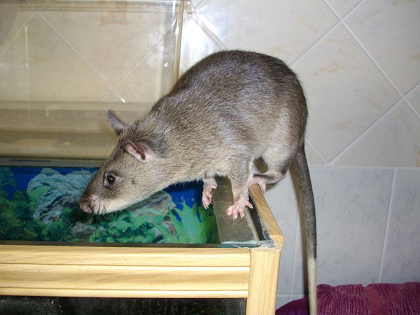 Gambian Pouched Rat (Photo: La�titia Dudous, Wikimedia Commons)
