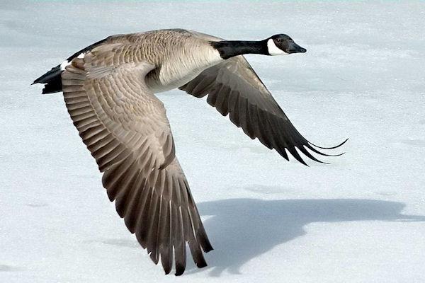 Canada Goose Ontario Military Gr