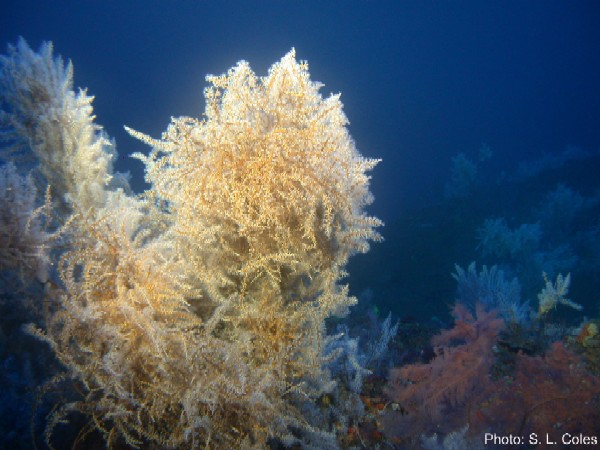 Carijoa riisei covering black coral trees in the Au Channel between Maui and Lanai, Hawaii (Photo: Steve Coles, Bishop Museum)