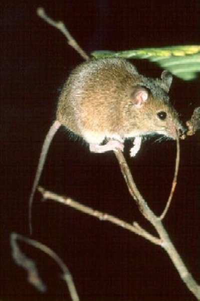 Mus musculus (house mouse) (Photo: � Larry Master larry_master@natureserve.org, NatureServe)