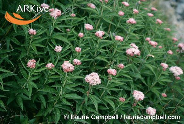 Eupatorium cannabinum (Photo: � Laurie Campbell / lauriecampbell.com)