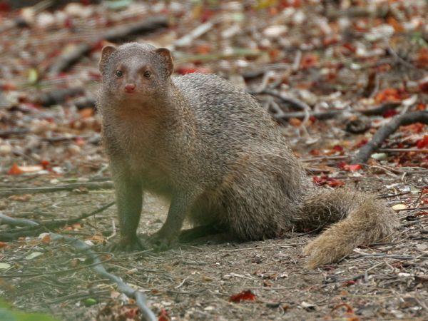 Mongoose Virgin Islands