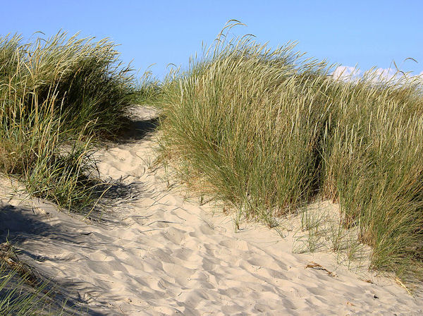 Marram Grass (Photo: Malene Thyssen (User Malene) , www.commons.wikimedia.org)