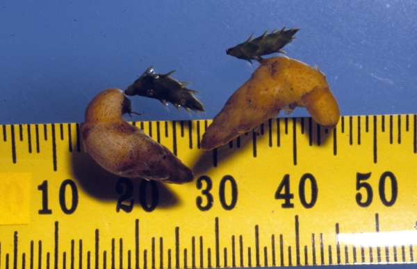 Hydrilla tubers and turions with scale (Photo: Visual Arts, MAFTech)