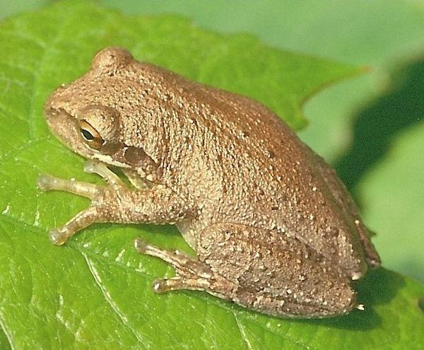 Hyla septentrionalis (Photo: Holger Gr�schl, www.naturspektrum.de via www.commons.wikimedia.org)