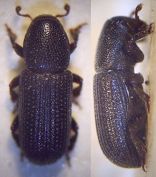 2 views of the beetle (Photo: Fdcgoeul, www.commons.wikimedia.org)