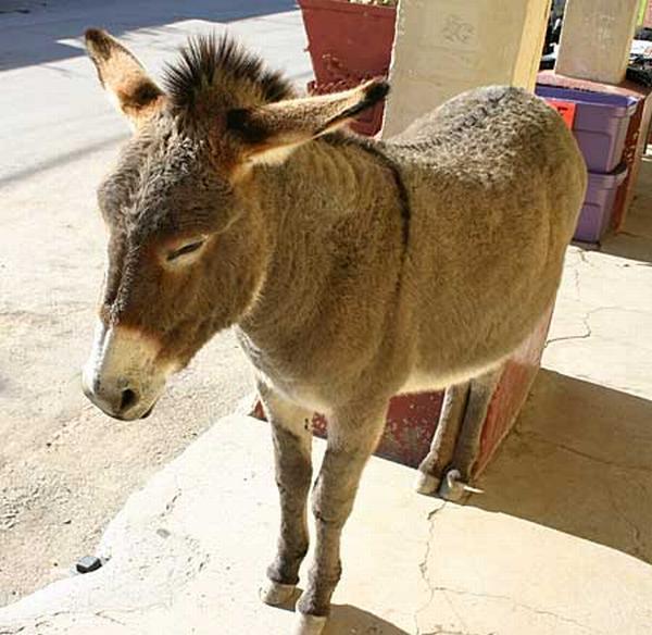 Equus asinus (Photo: DesertUSA.Com, http://www.desertusa.com)