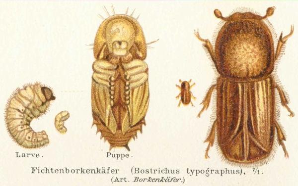 Ips typographus (Photo: George Slickers, www.commons.wikipedia.org/Meyers Konversationslexikon 1888, vol. 16 p. 352;   Ips typographicus  ; {{PD-Meyers}})