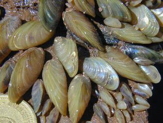 Limnoperna fortunei or golden mussel (Photo: Gustavo Darrigran)