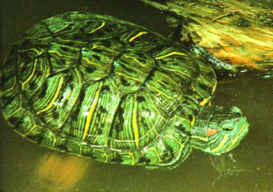 Red-eared slider (Photo: unknown)