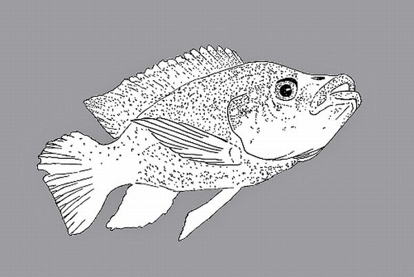 Oreochromis mossambicus (Line drawing: T. Voekler, WikiMedia Commons)