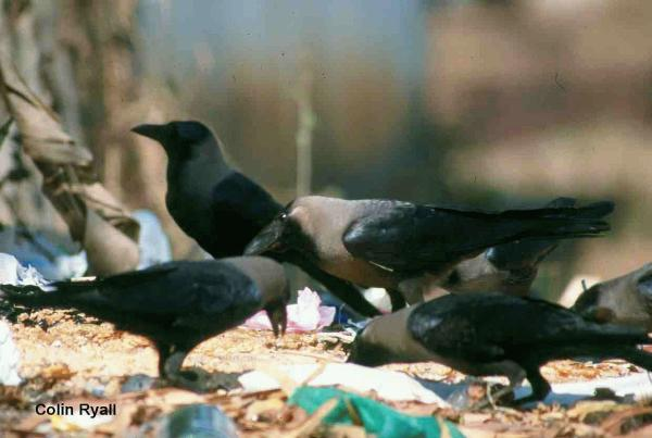 Corvus splendens (Photo: Colin Ryall, Kingston University)