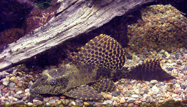 Sailfin pleco (Photo: Soulkeeper, www.commons.wikimedia.org)
