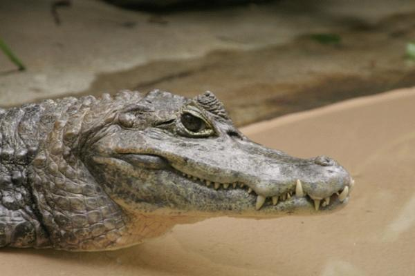 Spectacled Caiman (Photo: Robert Lawton, www.commons.wikimedia.org)