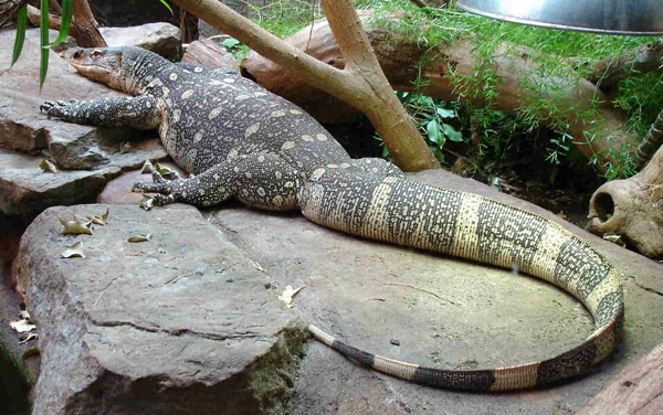 Varanus niloticus (Photo: Bluemoose, Wikimedia Commons)