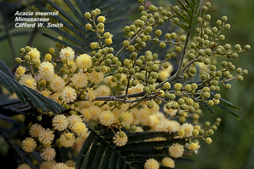 Detail of Acacia mearnsii flowers