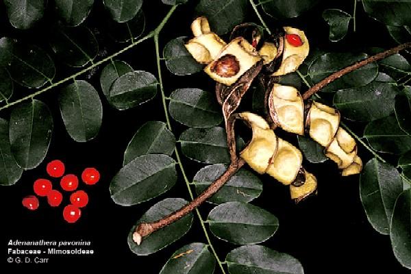 Adenanthera pavonina berries and seeds (Photo: Dr Gerald Carr, University of Hawai i)