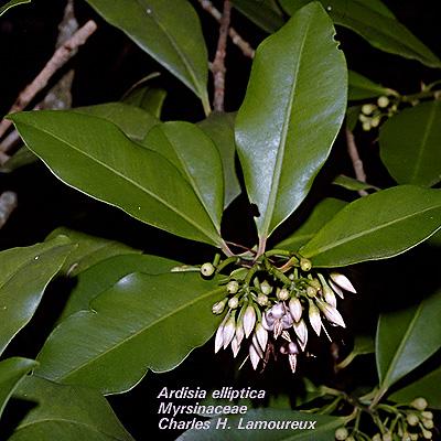 Leaves of Ardisia elliptica