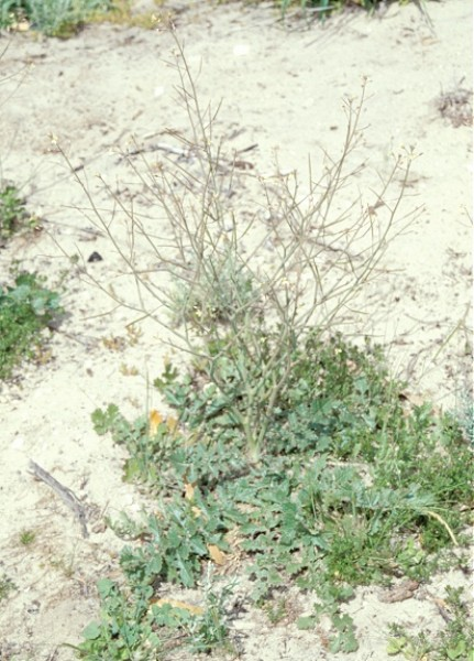 Brassica tournefortii (Photo: � John M Randall/The Nature Conservancy)