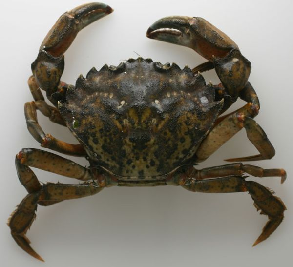 A male Carcinus maenas from San Francisco Bay. Note the shape of the carapace with 5 spines along the edge between the eye socket and the widest point of the carapace, the 3 rounded projections between the eyes, the 2 arcs of white spots on the back, and the somewhat flattened rear legs (Photo: Luis A. Sol�rzano www.californiabiota.com)
