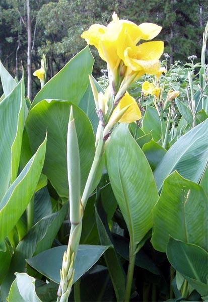 Canna indica (Photo: K Braun, Swaziland s Alien Plants Database)