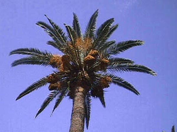 Phoenix canariensis canopy and fruit (Photo: W. Mark and J. Reimer)
